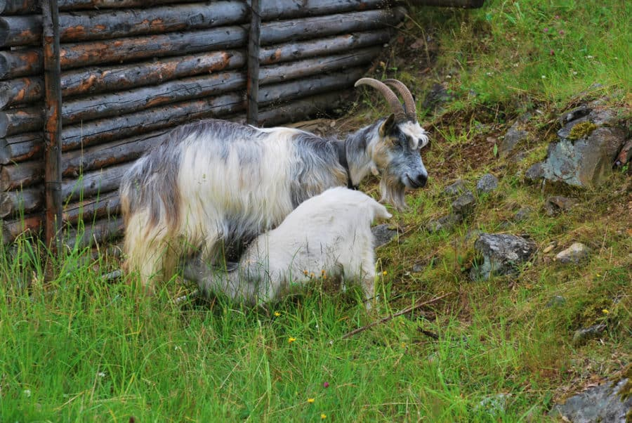 25 Great Goat Fence Ideas for Your Yard in 2019