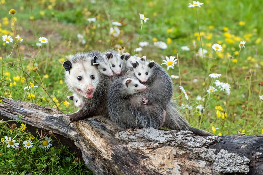 How to Get Rid of Possums in Your Backyard for Good 2019