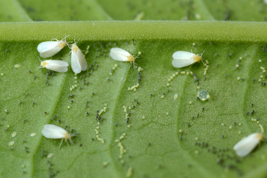 How to Get Rid of Little White Bugs on Plants: Home and ...
