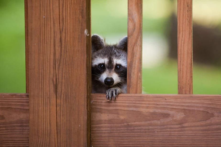 How To Get Rid Of Raccoons From Under the Deck 2020: Own ...
